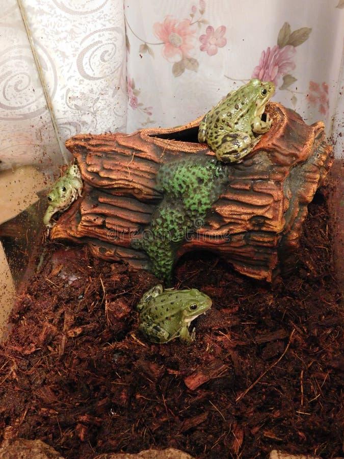 Лягушки озера стоковое изображение