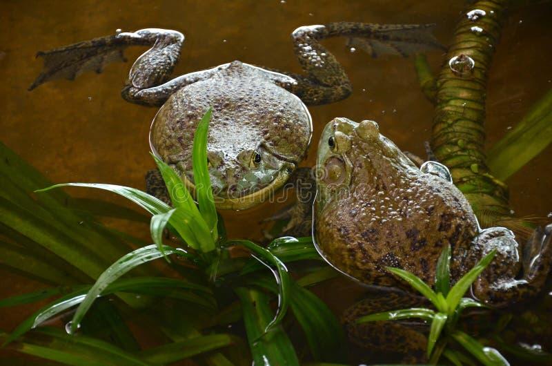 Лягушки Bull на ферме лягушки стоковые фото