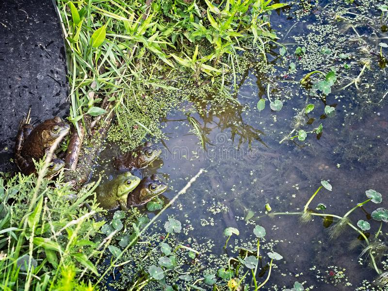 Лягушки Bull стоковые фотографии rf