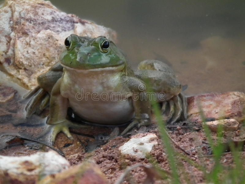 Лягушки Bull стоковое фото rf