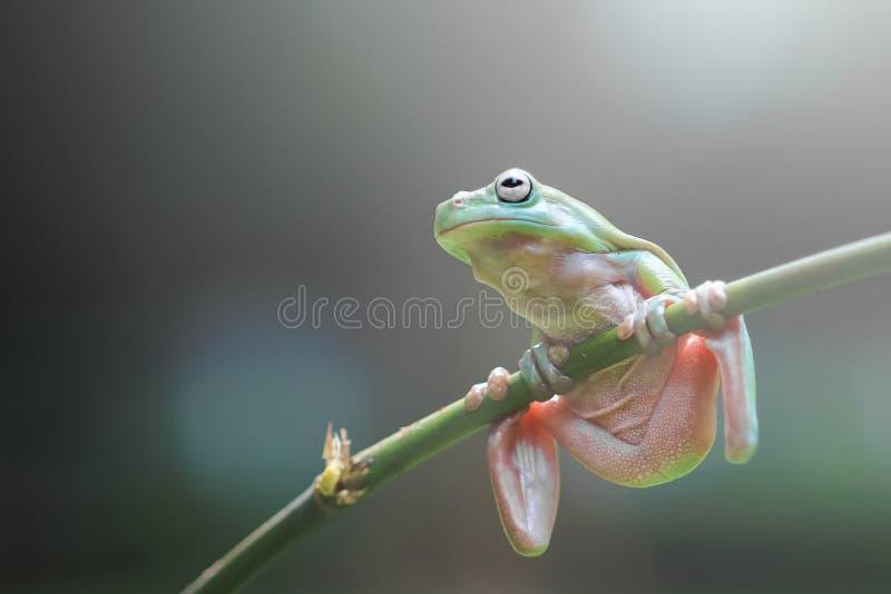 Лягушки, dumpy лягушки, лягушки летая, древесные лягушки на хворостинах стоковое фото rf