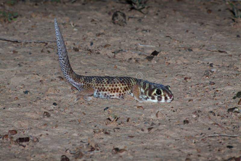 Лягушк-наблюданные гекконовые, scincus Teratoscincus, южный Казахстан стоковое фото rf