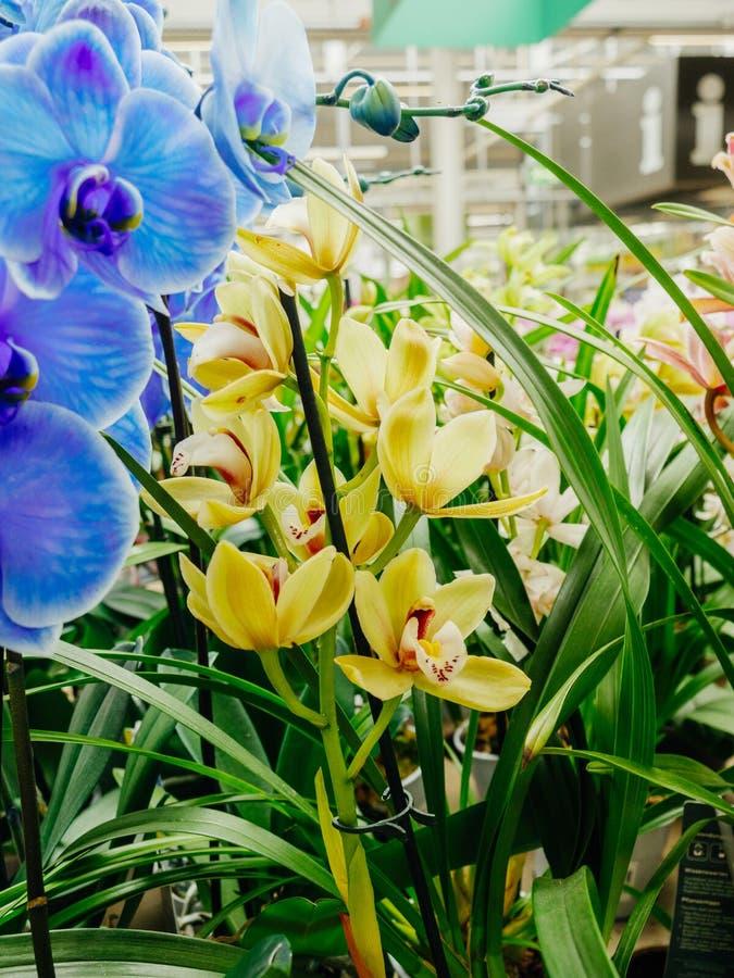 Магазин флориста с красивым в желтом цвете цветка орхидеи цветеня голубом стоковое изображение rf