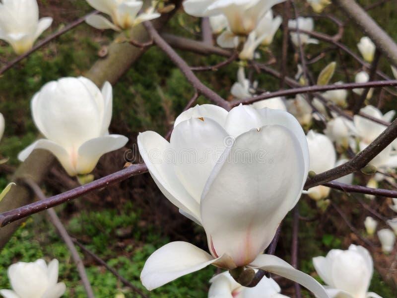 Магнолийский цветок белый стоковое фото