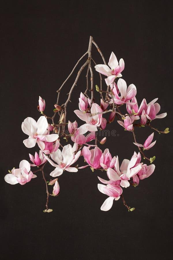 Магнолия, ветвь цветка весны розовая на черноте стоковые фотографии rf