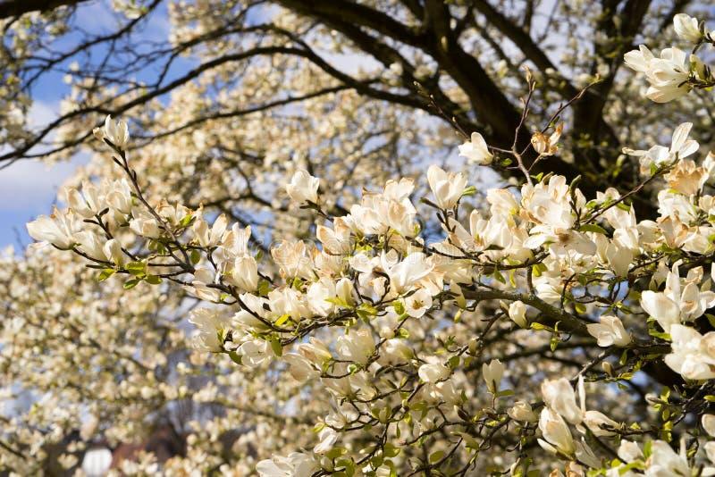 Магнолия цветет полностью цветене весной стоковое изображение