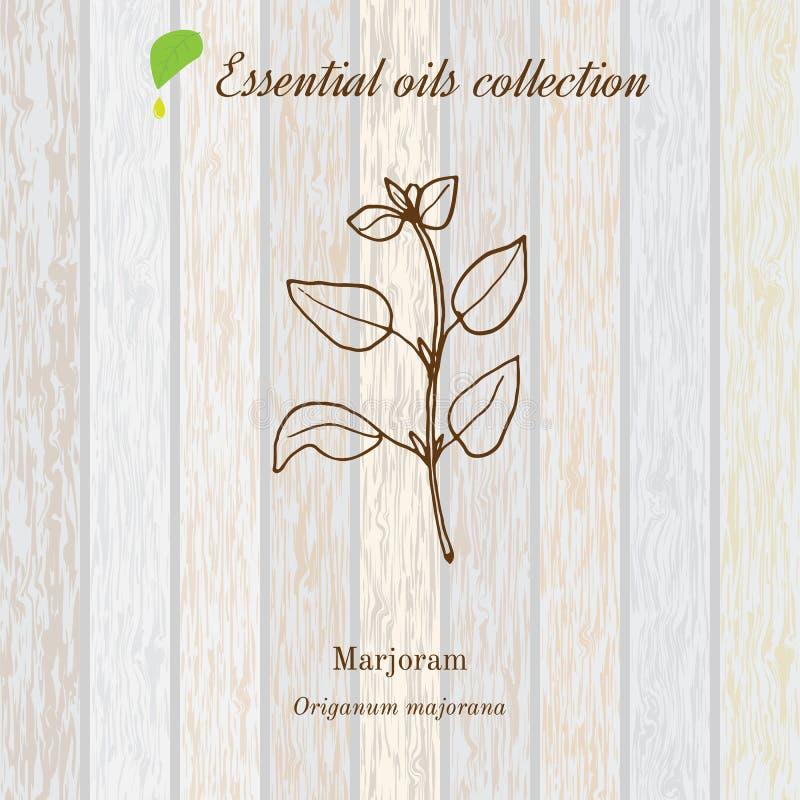 Майоран, ярлык эфирного масла, ароматичный завод также вектор иллюстрации притяжки corel иллюстрация вектора