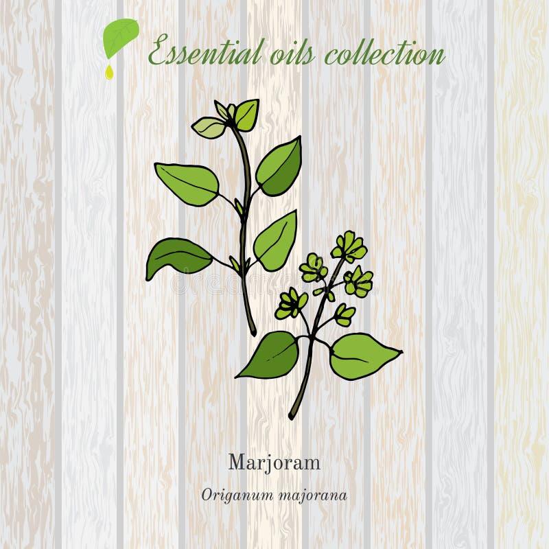 Майоран, ярлык эфирного масла, ароматичный завод иллюстрация штока