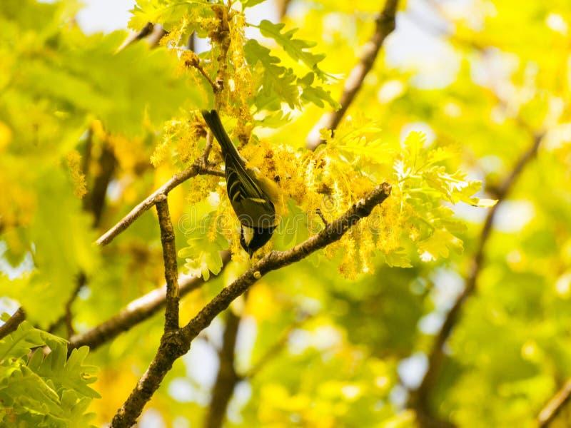 Майор Parus - большая синица на ветви дуба в весеннем времени стоковое фото