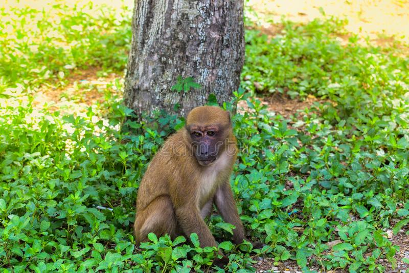 Макака Асома, обезьяна сидя под деревом, сиротливая обезьяна без друзей, грустная обезьяна, живая природа природы, люди эволюцион стоковая фотография