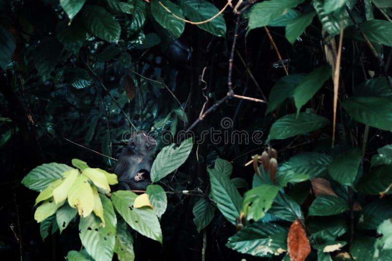 Макака при молодой младенец сидя на ветви в середине тропического леса Борнео стоковые изображения