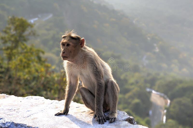 Макака Bonnet, Индия стоковые фото