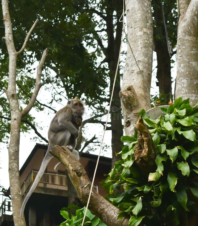 Макака Kra обезьяны длиной замкнутая стоковое изображение rf