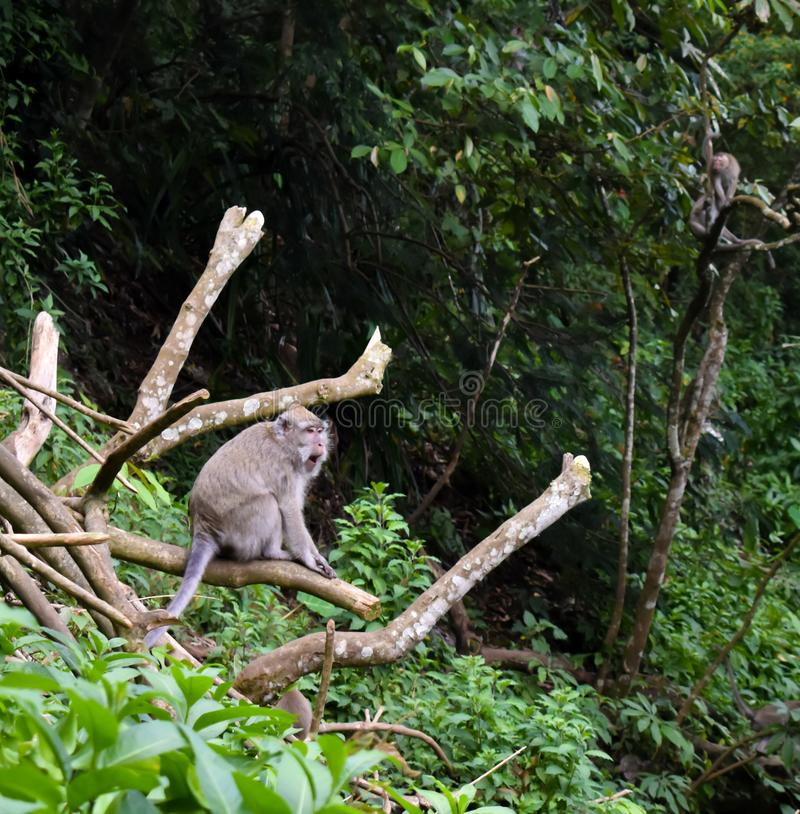 Макака Kra обезьяны длиной замкнутая стоковое фото