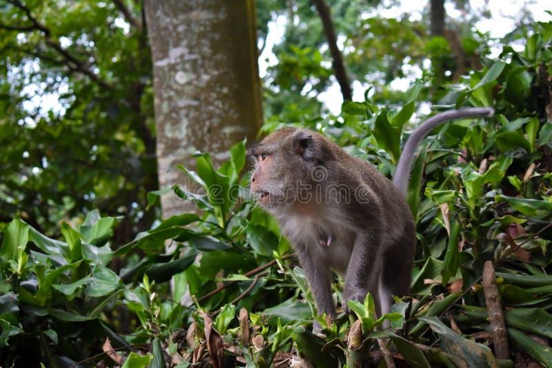 Макака Kra обезьяны длиной замкнутая стоковые изображения
