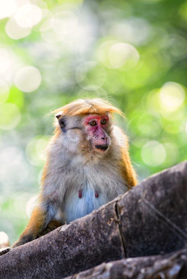 Макака Toque - sinica Macaca, Шри-Ланка стоковое фото rf