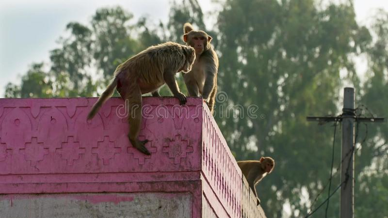 Макаки резуса двигали в город и крали много вещей от человеческого, Джайпур в Индии стоковая фотография rf