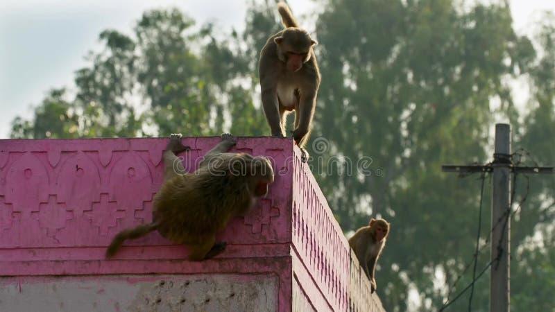 Макаки резуса двигали в город и крали много вещей от человеческого, Джайпур в Индии стоковые фотографии rf