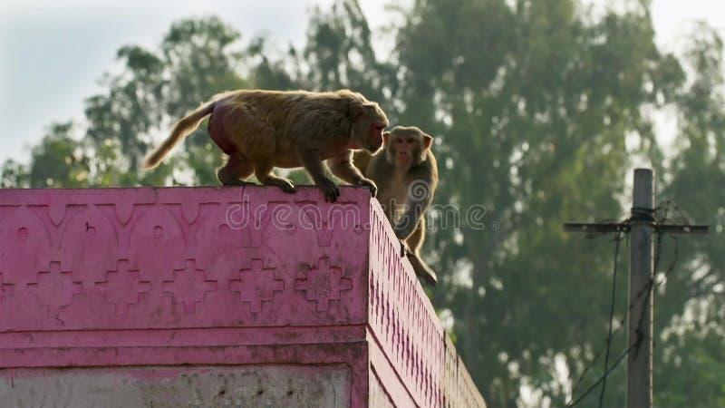 Макаки резуса двигали в город и крали много вещей от человеческого, Джайпур в Индии стоковое фото