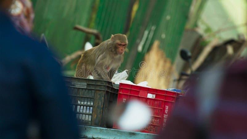 Макаки резуса двигали в город и крали много вещей от человеческого, Джайпур в Индии стоковые фото