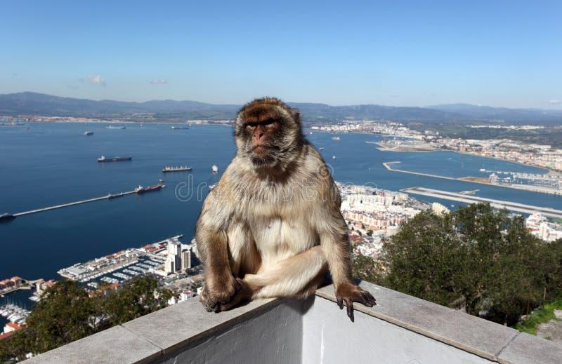 Макак Barbary в Гибралтаре стоковое изображение