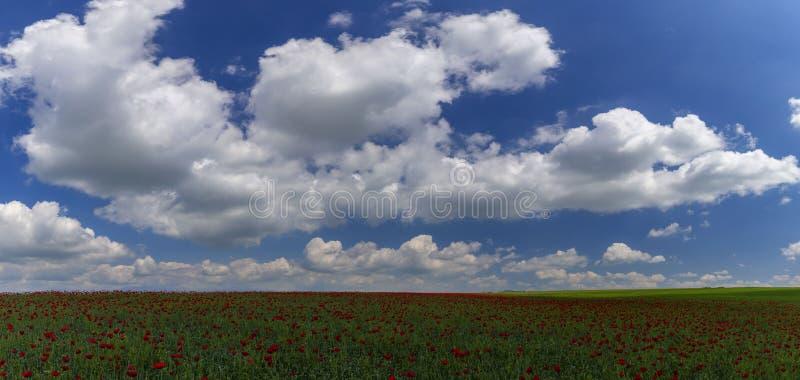 Маки весны цветя на поле стоковая фотография rf
