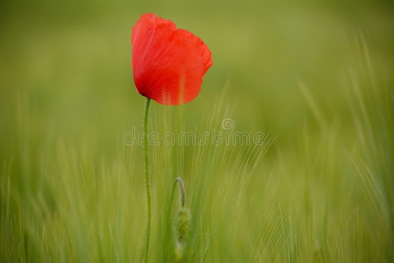 Маки в зеленом пшеничном поле стоковое фото rf