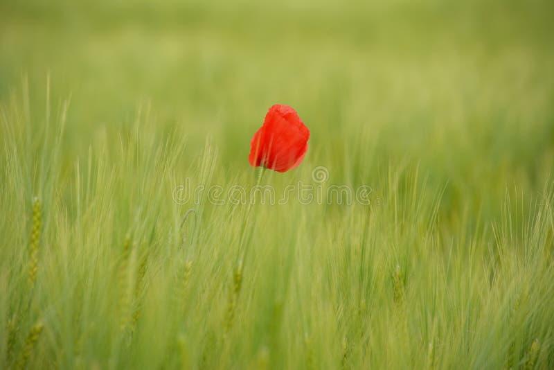 Маки в зеленом пшеничном поле стоковые фото