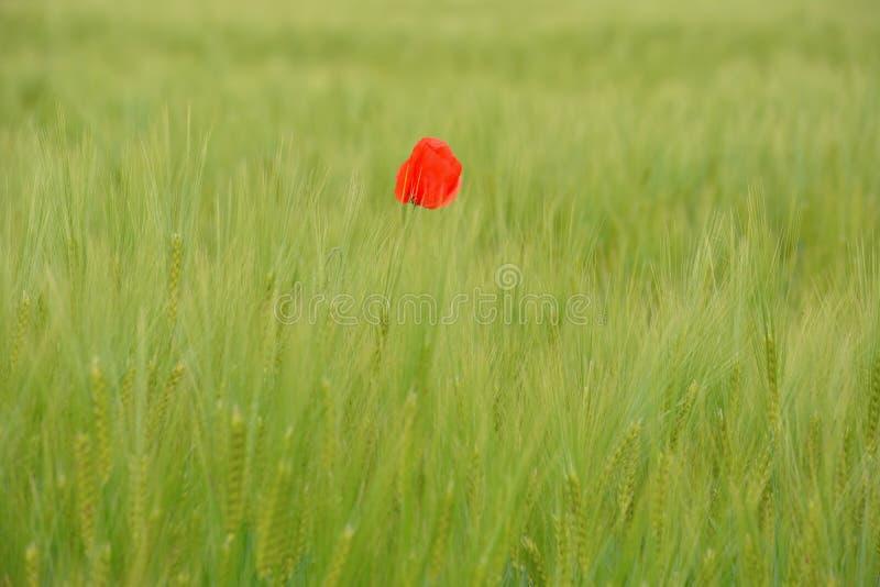 Маки в зеленом пшеничном поле стоковое изображение rf