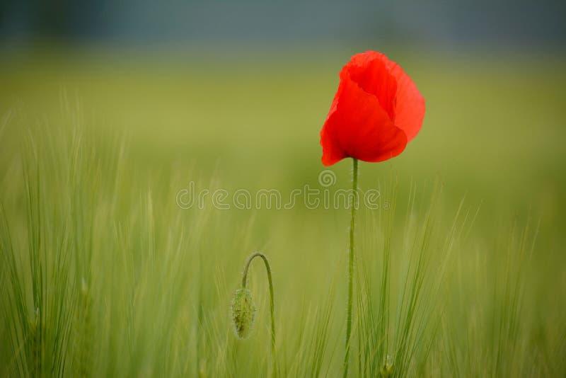 Маки в зеленом пшеничном поле стоковые изображения