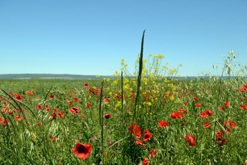 Маки в полях в северном Кавказе стоковое изображение rf