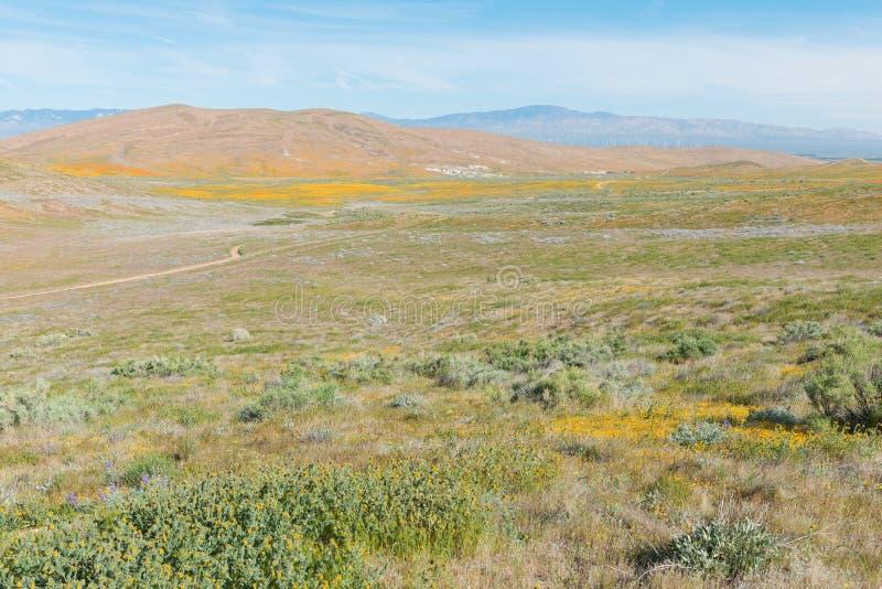 Маки в цветени стоковое изображение rf