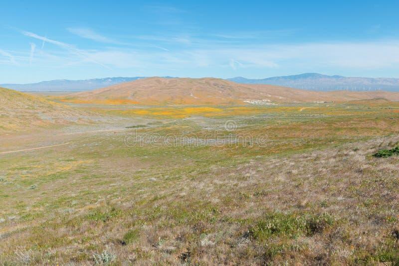 Маки в цветени стоковое фото rf