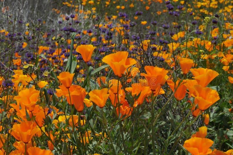 Маки и больше Калифорния в поле весны стоковая фотография rf