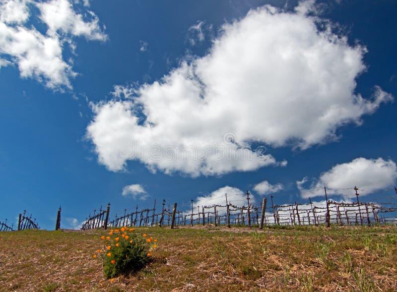Маки Калифорнии золотые в пейзаже винной страны Paso Robles стоковая фотография rf