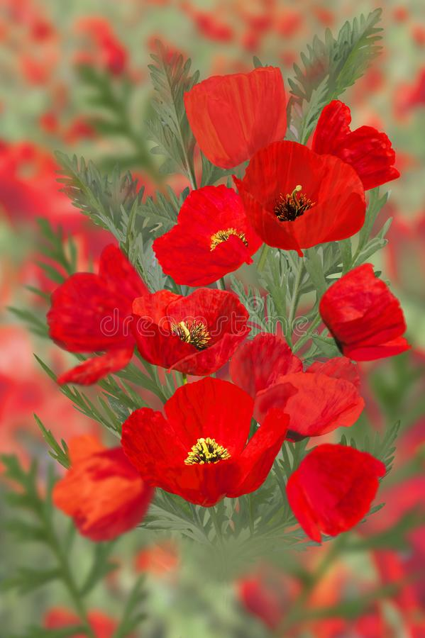 Poppies end  leaves stock photos