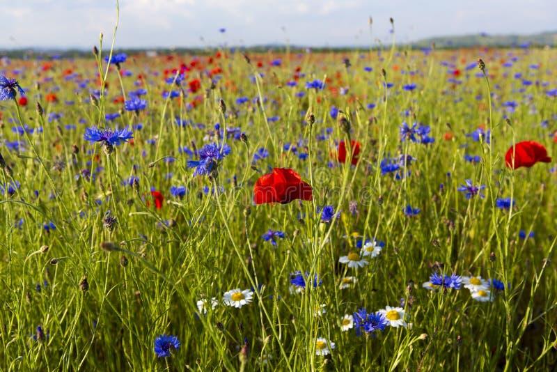 Маки, стоцвет и небольшие пурпурные цветки в поле зерна стоковые фотографии rf