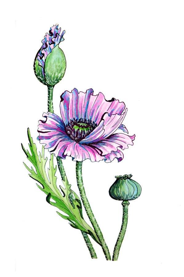 Маки с цветком и плодоовощ иллюстрация штока