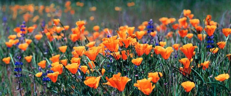 маки california стоковые фото