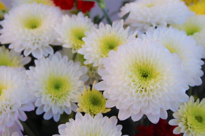 Макрос белых цветков хризантемы элегантный стоковое изображение