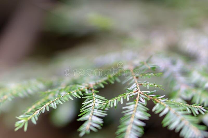 Макрос ветвей Hemlock стоковое фото