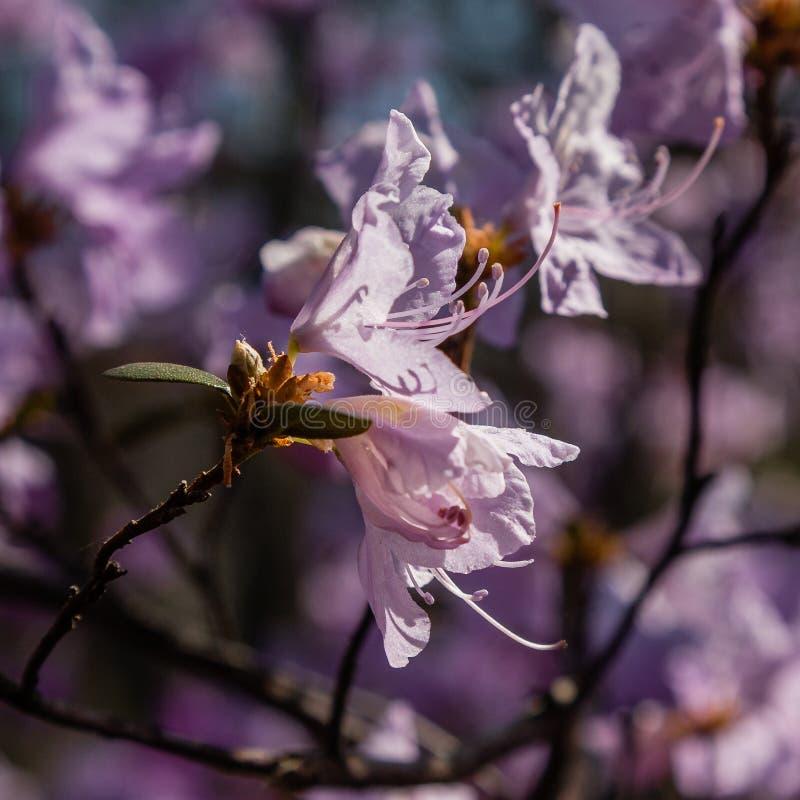 Макрос ветви цветка багульника стоковое фото rf