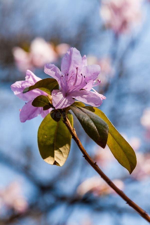 Макрос ветви цветка багульника стоковое фото