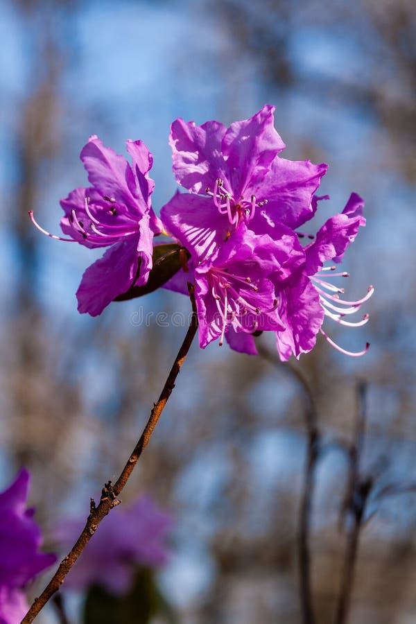 Макрос ветви цветка багульника стоковые фото