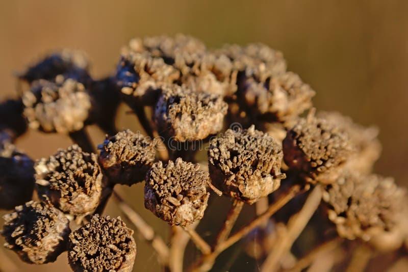 Макрос высушенных коричневых seedpods цветка пижмы - vulgare Tanacetum стоковое изображение