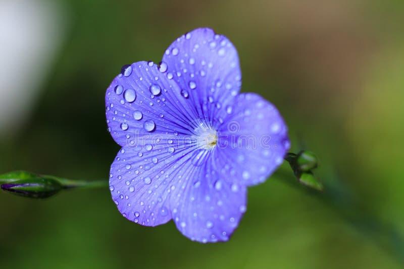 Макрос голубого цветка льна стоковая фотография