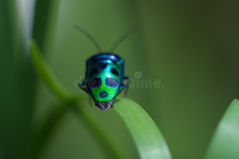 Макрос зеленого цвета с черными точками прослушивает на траве стоковая фотография