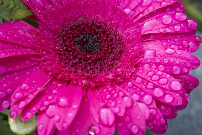 Макрос красивого темного розового цветеня цветка Gerbera полностью облитого в падениях воды от росы утра E стоковая фотография rf