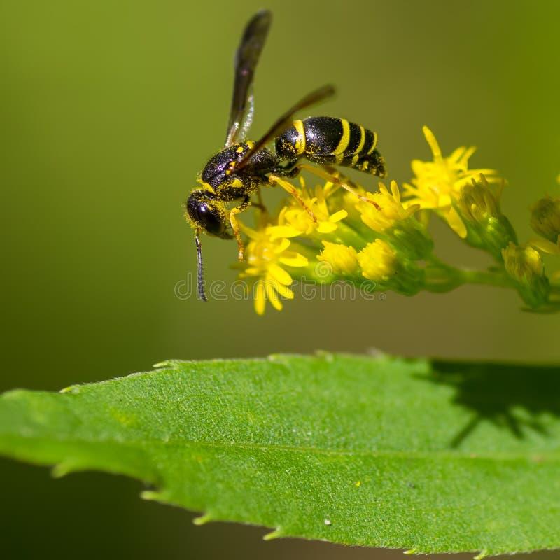 Макрос крупного плана оси гончара я верю питаться/опыляя на желтом wildflower над зелеными лист - в губернаторе Knowles Sta стоковые изображения