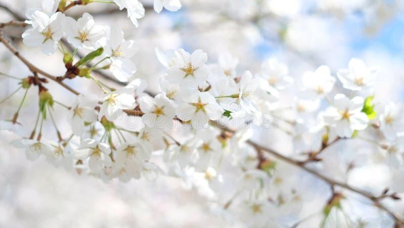 Макрос крупного плана снятый цветка во время месяца весны, высокого парка вишневого цвета, Торонто, Канады стоковые изображения rf